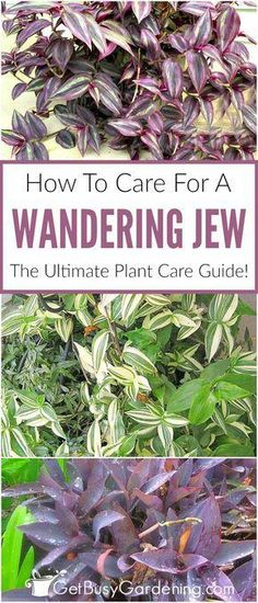 Whether you're growing wandering jew indoors or outdoors, all of the wandering jew varieties are easy care plants. Learn everything you need to know about how to care for wandering jew in this in-depth wandering jew plant care guide, including watering, l Gardening For Beginners, Gardening Tips, Gardening Quotes, Wandering Jew, Easy Care Plants, Easy House Plants, House Plant Care, Garden Pests, Garden Fertilizers