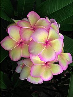 Plumeria Frangipani 12 inch Cutting by KlaymeierCreations on Etsy Flowers Nature, Exotic Flowers, Tropical Flowers, Amazing Flowers, My Flower, Flower Pots, Beautiful Flowers, Flower Tree, Tropical Garden