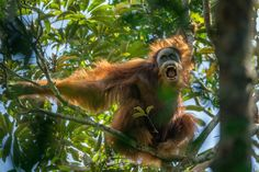 World's best nature photos - 2016 World Press Photo Contest - Nature And Science Male Orangutan, Sumatran Orangutan, Amazing Nature Photos, Cool Photos, Primates, National Geographic, World Press Photo, Nature Story, Photo Awards