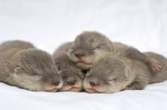Group nap - cute animals / baby otters, small pets and wild sleeping animals Baby Animals Pictures, Cute Animal Pictures, Cute Baby Animals, Animals And Pets, Funny Animals, Animal Babies, Wild Animals, Newborn Animals, Animal Pics