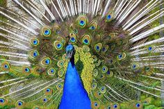 Peacock, Tail, Directly Peacock Images, Peacock Photos, Peacock Tail, Cheap Travel, Vacation Trips, High Quality Images, Find Image, Parks, Parkas