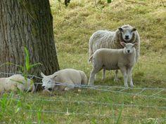 schapen, photo PETER VAN BAARLE