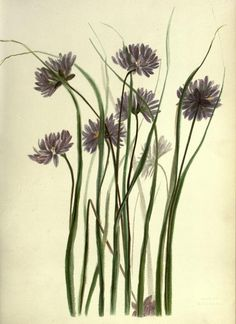 Wild flowers of the Pacific coast. - Biodiversity Heritage Library