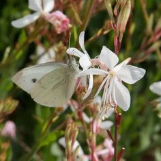 40cm POTS or HEDGE GAURA SPARKLE WHITE Gaura lindheimeri 'Sparkle White' - Cottage Garden Plants - Van Meuwen