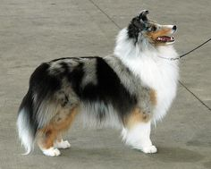 Shandy, our Blue Merle Shetland Sheepdog, who sadly only lived two years. He was beautiful dog.