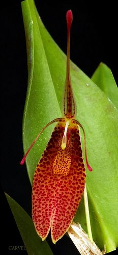 Restrepia aristulifera | Flickr: Intercambio de fotos
