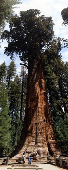 General Sherman Tree Sequoia National Park - The Largest Tree By Volume in the World // localadventurer.com #Trees
