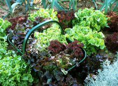 """Semis, repiquage et récolte des salades  """"Un bon jardinier fait pousser de la salade toute l'année."""" Chicorées et laitues se déclinent en de multiples variétés, l'ambition de semer et de récolter au fil des saisons est donc raisonnable."""