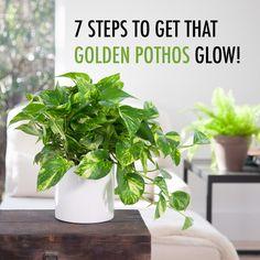 7 Steps to Get That Golden Pothos Glow! Big Indoor Plants, Outdoor Plants, Garden Plants, Full Sun Plants, Big Plants, Tropical Plants, Water Garden, Indoor Garden, Golden Pothos Plant