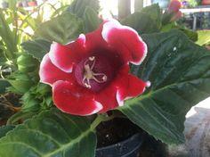 Размножение глоксинии - Садоводка