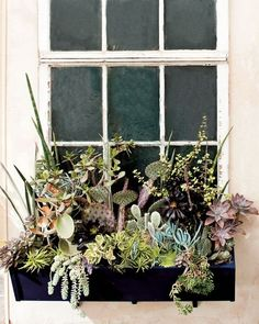 Succulent Window Box:Aeonium (Aeonium tabuliforme 'Dinner Plate'),black tree aeonium (Aeonium 'Zwartkop'),jade plant (Crassula argentea and Crassula argentea 'Variegata'),hen-and-chickens (Echeveria), ox tongue (Gasteria),leatherpetal (Graptopetalum sp.),Graptoveria sp. (Echeveria x Graptopetalum),star cactus (Haworthia),kalanchoe (Kalanchoe orygalis 'Rusty'),bunny-ears, purple prickly pear ,peperomia (Peperomia ferreyrae),elephant bush ,variegated snake plant,snake plant ),sedum.