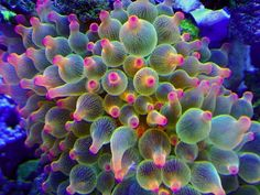 rainbow tip bubble-Tip Anemone
