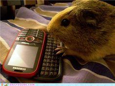 Guinea Pig texting!