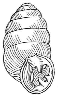 Gastrocopta armifera shell.jpg