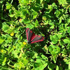 Tyria jacobaeae (ou Ecaille du Seneçon)  #igersniort #igersnouvelleaquitaine #igersdeuxsevres #papillon #butterfly #tyriajacobaeae #ecailleduséneçon #saintgelais #nature  #etod79_79 #etod79_spring #etod79_animals Papillon Butterfly, Herbs, Album, Instagram, Spring, Nature, Naturaleza, Herb, Nature Illustration
