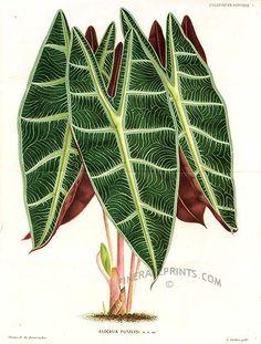 Antique print: picture of Alocasia - Kris plant (double sized print) - Alocasia putzeysi - Java