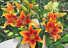 How to Garden with Lilies! Lilies bloom at the height of summer and produce some of the garden's most impressive flowers. Here's what you'll need to know about choosing, planting and caring for these beautiful summer-blooming perennials. More info here: https://www.longfield-gardens.com/article/How-to-Garden-with-Lilies