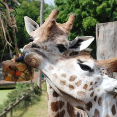 giraffe enrichment images | Ice Treats