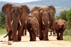 "One of ""The Big 5"" animals found in Kruger National Park. #Elephants #Kruger #NationalPark #vacation"