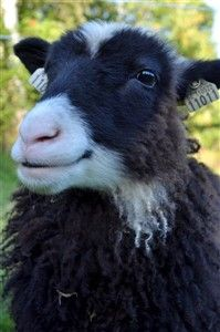 Klövsjöfår - heritage Sewedish sheep breed. 100 left