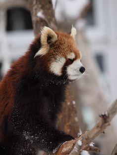 その様子を興味津々に眺めるホクトなのです♪  Red pandas レッサーパンダ 小熊猫
