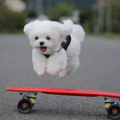 Maltese Dogs Diet Maltese Poodle For Sale San Diego Hypoalle. Maltese Dog Breed, Maltese Poodle, Teacup Maltese, Chihuahua Puppies, Tiny Puppies, Cute Dogs And Puppies, Doggies, Large Dogs, Small Dogs