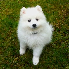Keira - japanese Spitz puppy @ 10 weeks old.  Cute'ness!!