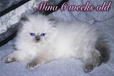 picture of lilac point persian kitten
