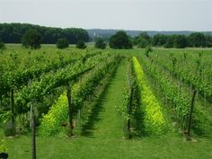 Avitera Vineyard, The Netherlands