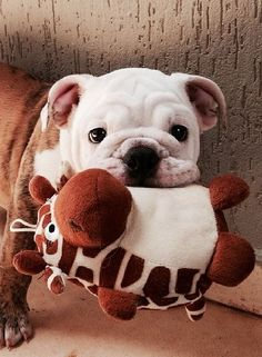 so cute! I love Bulldogs and giraffes so this is great (: