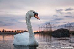 Mute swan, Seurasaari, Helsinki, Finland ...