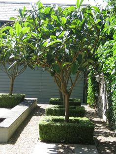 Eriobotrya Japonica or Loquat tree. Back Gardens, Small Gardens, Outdoor Gardens, Tropical Garden, Tropical Plants, Landscaping Plants, Garden Plants, Loquat Tree, Architectural Plants