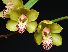 Cymbidium hamana - Flickr - Photo Sharing!