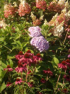 What is prettier than Tardiva,  Endless Summer Hydrangea and Purple Coneflower?
