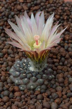Eriosyce odieri ssp glasbrescens