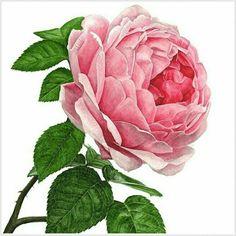 Anna Mason ~ Pink Rose, x Botanical Flowers, Botanical Prints, Flowers Garden, Exotic Flowers, Purple Flowers, Ranunculus Flowers, Summer Flowers, Art Floral, Watercolor Flowers