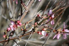 #Pfirsichblüte auf #Lanzarote #AppLanzarote2GO