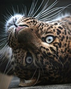 Big cats - cute and Wuvely The Animals, Nature Animals, Beautiful Cats, Animals Beautiful, Hello Beautiful, Beautiful Pictures, Big Cats, Cats And Kittens, Ragdoll Cats
