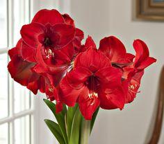 Amaryllis 'Red Rival'