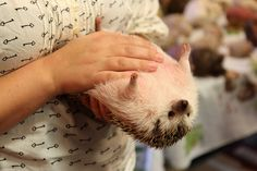 One trick to keep your hedgehog still is to blow on them gently. | 40 Things We Learned At The Hedgehog Convention
