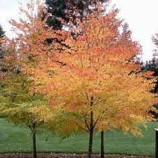 21 Fascinating Shade Trees For The Landscape Katsura Tree Shade Trees Trees To Plant
