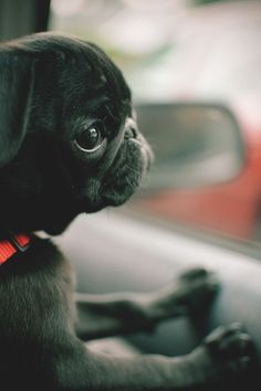 Collection of Pug Puppies cute, Pug pics, If You are Pug Lover, Let follow @cutepestsz to see more pics about Pug Puppies