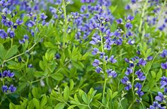 False blue indigo (Baptisia australis). Sturdy North American native perennial. Not very well known despite the fact that it grows wild from Ontario to Texas. Plants grow 3 to 5 feet tall and look like shrubs when not in bloom. best in full sun. Once established, tolerates drought.