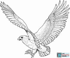 Hawk color page, animal coloring pages - Animal Town - Hawk free printable coloring pages animals - color sheet - animal coloringbook Coloring Pages To Print, Free Printable Coloring Pages, Coloring Book Pages, Coloring Pages For Kids, Adult Coloring, Falke Tattoo, Hawk Pictures, Eagle Drawing, Drawing Birds