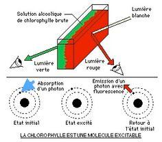 Lorsque un photon, correspondant à une longueur d'onde bleu (donc très énergétique) frappe un électron d'un atome de la chlorophylle, celui-ci est excité et change de niveau d'énergie. Il est donc instable. Il revient donc à son niveau d'énergie initiale en redonnant un photon. Comme un peu d'énergie a été perdu, le photon émis est moins énergétique et donc d'une longueur d'onde supérieur, c'est à dire dans le rouge. C'est ce qui explique la teinte prise par le chlorophylle.