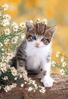 Super cats and kittens quotes pictures of Ideas Cute Baby Cats, Kittens And Puppies, Cute Cats And Kittens, Cute Baby Animals, Cool Cats, Kittens Cutest, Animals And Pets, Funny Animals, Pretty Cats