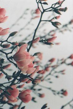 // magnolia