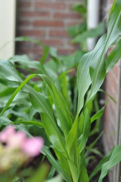 Mais #gardenfood #etenuitdetuin #biologisch #ediblegarden #moestuin