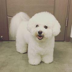 #bichonfrise #dog #doglovers #doggie #baby #lovely #ilovemydog #cute #dogcorner #pet #pets #socute #愛犬 #犬 #ビションフリーゼ #かわいい #비숑프리제