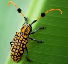http://www.thefeaturedcreature.com/2012/04/shake-those-pom-poms-longhorn-beetle.html?utm_source=feedburner_medium=email_campaign=Feed%3A+FeaturedCreature+%28Featured+Creature%29#axzz1tFWpdElk  pom-pommed long horned beetle